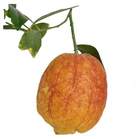 Citron Orange