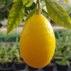 limequat agriculture raisonnée sud de la France